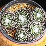 거미줄바위솔 6 Sempervivum arachnoideum tomentosum