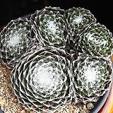 거미줄바위솔 7 Sempervivum arachnoideum tomentosum