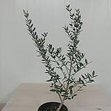 올리브나무 #4 