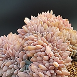 성영철화 묵은둥이|Echeveria elegans Potosina