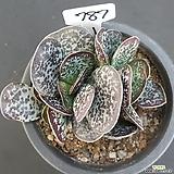 환엽어소금0116-787|Adromischus maculatus