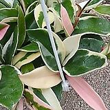 이쁜컬러호야-대품걸이분|Hoya carnosa