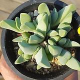 체리톱스 Cheiridopsis Pillansii