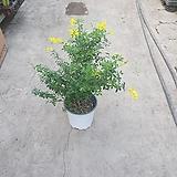 애니시다 꽃이화려합니다 노랭이 중품 40~60cm 119|