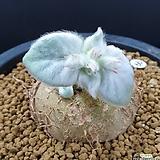 단애의여왕  중품|Rechsteineria leucotricha