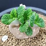 신단애의여왕  중품|Rechsteineria leucotricha
