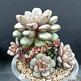 홍포도 자연군생 중품|Graptoveria Ametum