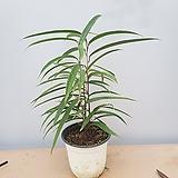 휘커스 알리고무나무|Ficus elastica