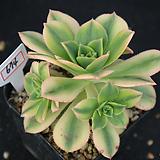 플로레센스 674 Aeonium Floresense