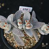 백토이 678 Kalanchoe eriophylla