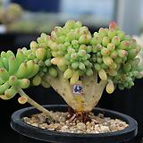 을려심철화 687 sedum pachyphyllum