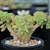 을려심철화 688 sedum pachyphyllum