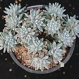 화이트그리니 자연군생 22두이상 694 Dudleya White gnoma(White greenii / White sprite)