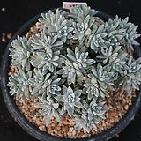 화이트그리니 자연군생 32두이상 697 Dudleya White gnoma(White greenii / White sprite)