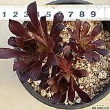 흑법사|Aeonium arboreum var. atropurpureum
