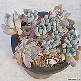 408동미인합식|Pachyveria pachyphytoides Walth