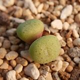 주쿤덤 sp. C. jucundum sp.|