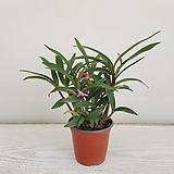 긴기아난 레드스프레시/공기정화식물/반려식물/온누리 꽃농원|