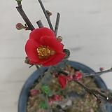 (단품)홍천조 명자나무 