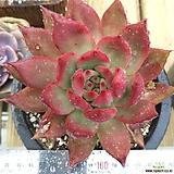 연꽃 마리아|Echeveria agavoides Maria