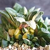 타이거피그마에아금|Haworthia pygmaea