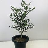 올리브나무3|