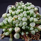오십령옥 1-736|Fenestraria aurantiaca
