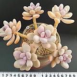 홍미인군생 묵은둥이 대품|Pachyphytum ovefeum cv. momobijin