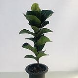 떡갈나무 (동일품배송 )|