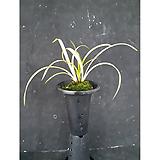 황금강(4-5촉)/난/서양란/동양란/공기정화식물/화분/나라아트|