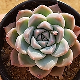 알바뷰티 441|Echeveria Alba Beauty