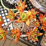 긴잎적성 10두자연군생|Echeveria agavoides Akaihosi