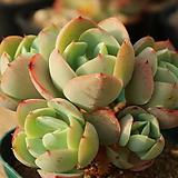 둥근잎비취후리데45|Echeveria Peach Pride