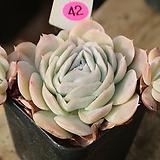 멕시코로즈자연군생42|Echeveria Mexico Rose