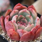 글램핑크묵은둥이190|Echeveria Glam Pink