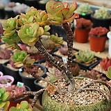 작품)홍매화 자연군생묵은둥이|Echeveria Multicalulis  Ginmei Tennyo