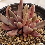 군작쌍두|Pachyphytum hookeri
