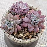 블루빈스(화분포함|Graptopetalum pachyphyllum Bluebean