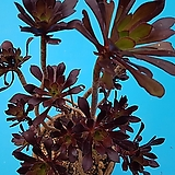 480흑법사|Aeonium arboreum var. atropurpureum