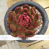 연꽃마리아 금|Echeveria agavoides Maria