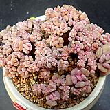 큐빅후로스티철화|Echeveria pulvinata Frosty