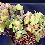 퓨베센스철화|Crassula pubescens