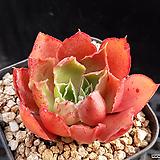 롱기시마hyb132|Echeveria longissima