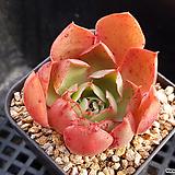 롱기시마hyb102|Echeveria longissima