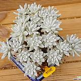 목대 화이트그리니 자연군생|Dudleya White gnoma(White greenii / White sprite)