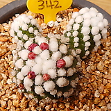 눈꽃선인장|Mammillaria gracilis cv.