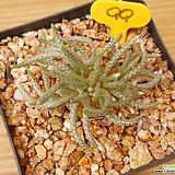 알스토니 (적화)|Avonia quinaria ssp Alstonii