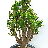 공기정화식물~호빗(우주목)|