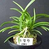 소엽란(중품)/풍란/난/석곡/동양란/서양란/나라아트