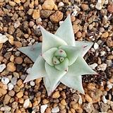 마리아금(귀한 옆성이 두껍고 손톱이 날렵한 아이)|Echeveria agavoides Maria